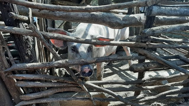 A pig on a farm, made for income generation for local families in need in Indonesia, through child sponsorship